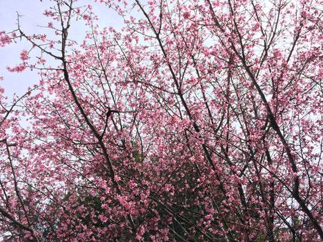 cherryBlossomBrooklyn03_22