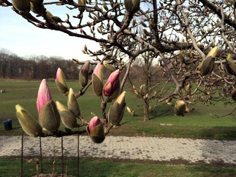 magnolia03_22