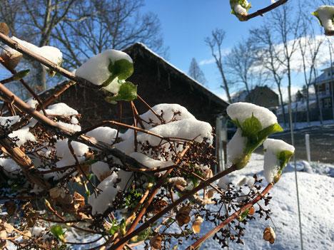 snowHydrangea04_03