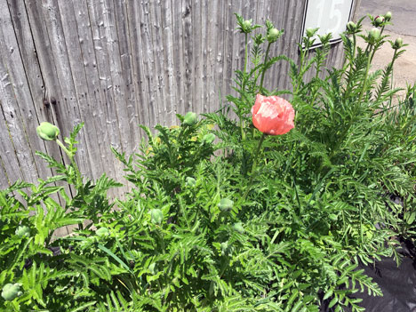 homePoppies05_15