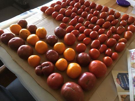 tomatoesRipening09_27