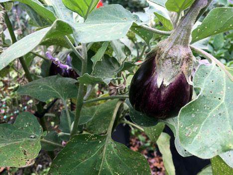 eggplant11_03